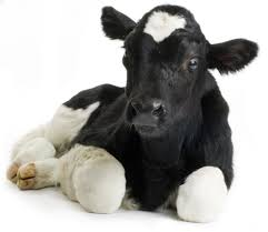 Pic of calf